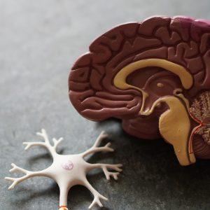 évaluation et prise en charge des fonctions exécutives chez l'adulte cérébro-lésé